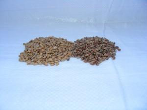 Malt de blé clair et malt de blé torréfié (50EBC)